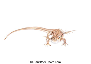 The rapid fringe-toed lizard on white - The rapid...
