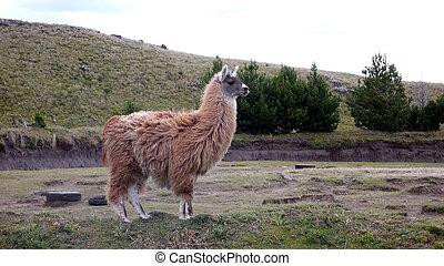 Perfil de Llama - El Quinto - Ecuador - South America