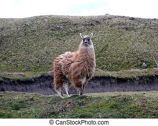 Llama - El Quinto - Ecuador - South America