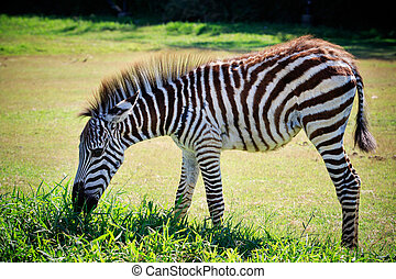 full body and shown beautiful stripe of young zebra eating...