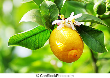 Ripe lemon and flower hanging on tree.