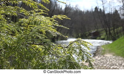 juniper tree branch river - Closeup of juniper coniferous...
