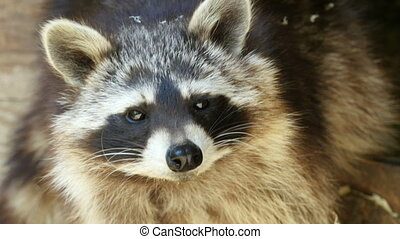 North american raccoon (Procyon lot - Face of North american...