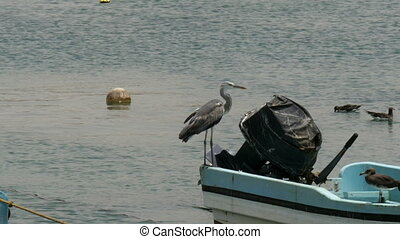 Grey heron sitting on boat, shot taken at indian ocean in...