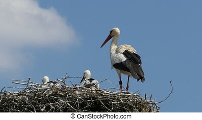 Young storks and adult stork in nes - Young storks and adult...