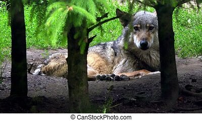 European wolf in forest - European wolf in the forest