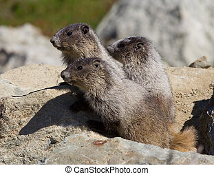 Marmot family - Young Hoary Marmot on alert