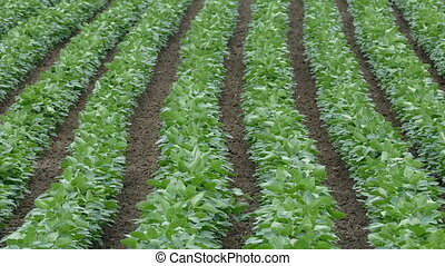 Green cultivated soy field - Agriculture, green cultivated...