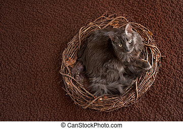 Grey Nebelung Cat in Nest - An overhead shot of a grey...