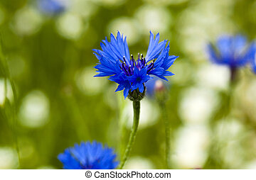 cornflowers - the flowers of cornflowers photographed by a...
