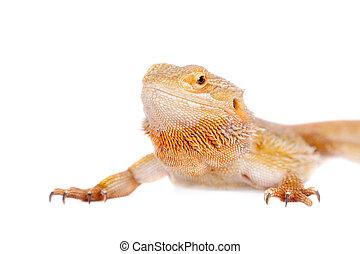 Red Bearded dragon, Pogona vitticeps, on white - Red Bearded...