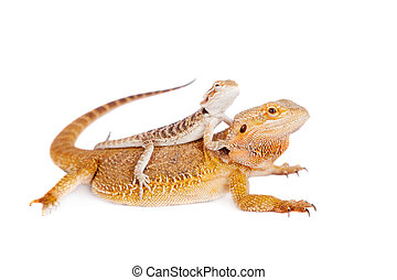 Red Bearded dragon with baby on her back - Red Bearded...