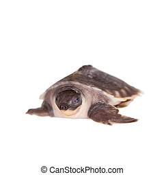The pig-nosed turtle on white - The pig-nosed turtle,...