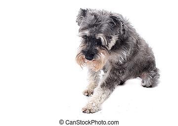 Grey Miniature Schnauzer Terrier in Studio - Grey Salt and...