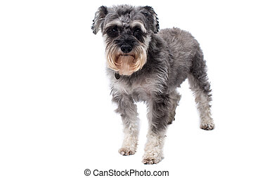 Miniature Schnauzer Terrier Standing in Studio - Portrait of...