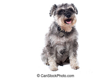 Portrait of Grey Miniature Schnauzer Terrier Dog Sitting in...