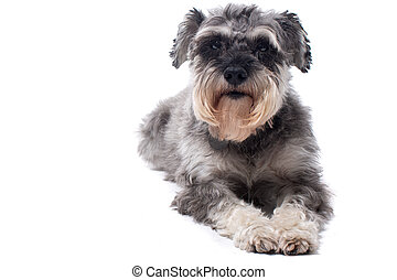 Portrait of Grey Miniature Schnauzer Terrier Dog Lying Down...