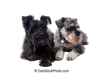 Two Terriers Looking in Same Direction in Studio
