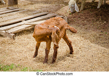 Goats are friendly animals as animals grow faster.