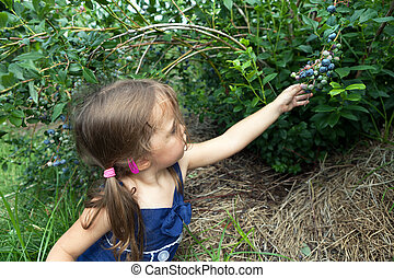 Little Girl Picking Blueberries - Close up of a toddler age...