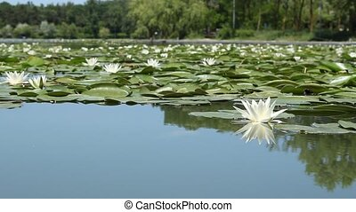 Lilies on the Lake - Water lilies colony in bloom on the...