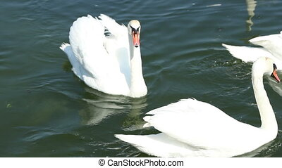 Swans on Lake - A group of swans are floating on the lake...
