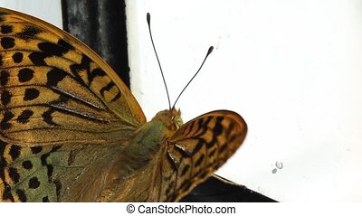 Butterfly Trapped in Window - A big butterfly is trapped in...