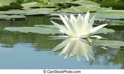 Lily Flower on the Lake