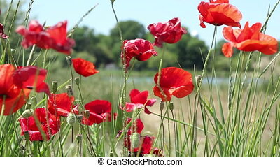 Poppies Flowers and Buds - A field of poppies flowers and...