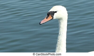 Swan Neck Portrait - A beautiful swan portrait with long...