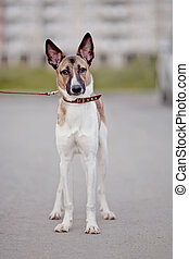 Domestic dog - Not purebred domestic dog in a collar on walk...