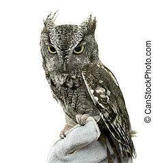 Eastern Screech Owl Isolated - Eastern Screech Owl are found...