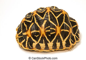 Indian Starred Tortoise on white background