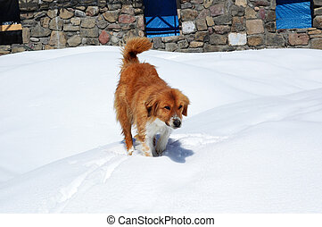 Brown dog in the snow