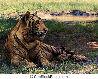 Indochina tiger lying in field