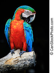 close up beautiful of scarlet macaw birds perching on dry...