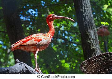 Scarlet ibis Eudocimus ruber in a volier
