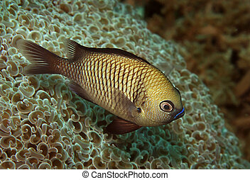 pacific gregory damselfish - (Stegastes fasciolatus)...