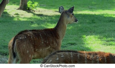 fawns - wild animals, fawns