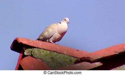 pigeon on roof - resting pigeon portrait