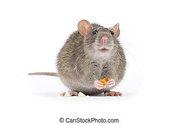 rat, ,