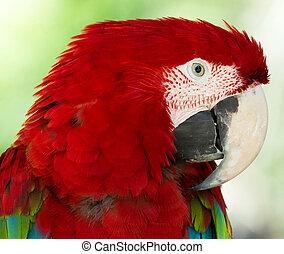 Papagaio,