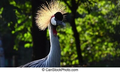 crowned cranes portrait close up