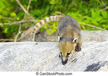 South American coati (Nasua nasua) baby - A young South...