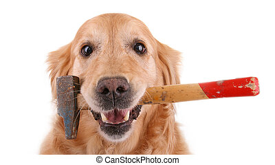 dog and hammer - isolated golden retriever wih hammer