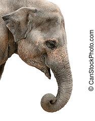 portrait of an Asian elephant - Portrait of a friendly Asian...