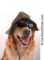 funny disguised dog - funny retriever disguised with hat and...