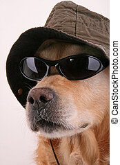 inspector dog - retriever disguised with hat and sunglasses