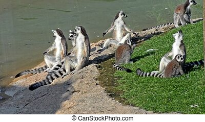 lemurs - ring-tailed lemurs family