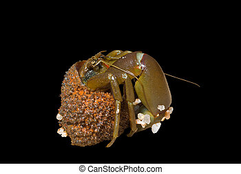 Hermit crab 11 - A close up of the hermit crab Isolated on...